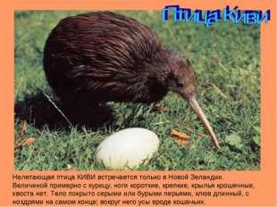 Нелетающая птица КИВИ встречается только в Новой Зеландии. Величиной примерно