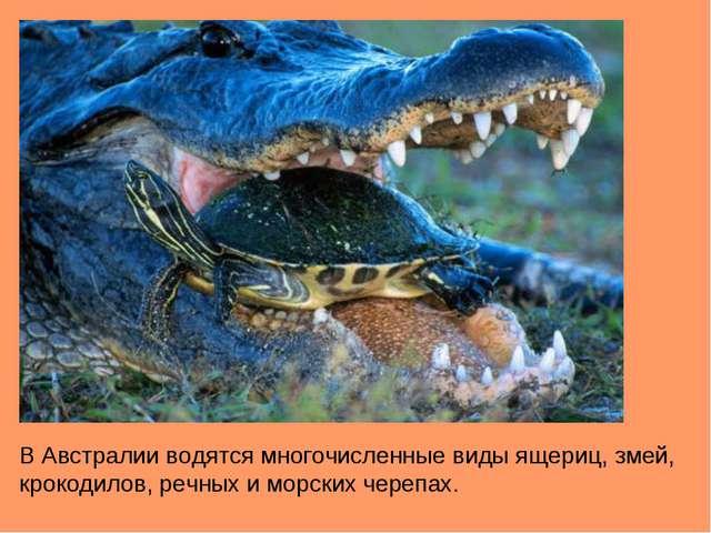 В Австралии водятся многочисленные виды ящериц, змей, крокодилов, речных и мо...