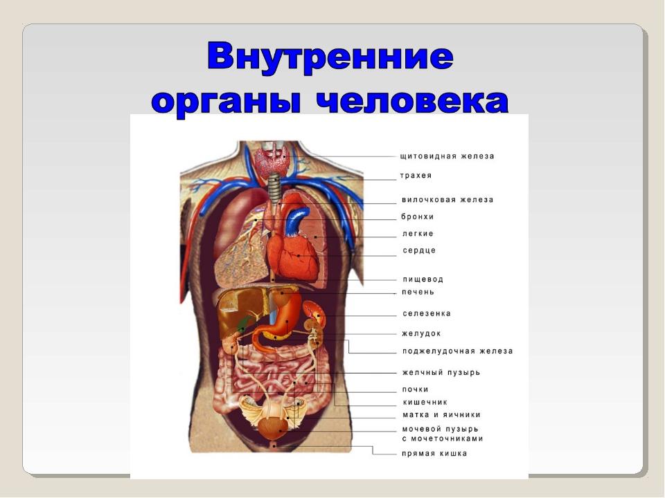 Какие внутренние органы есть у человека рисунок