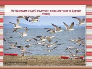 По берегам морей селятся колонии чаек и других птиц.