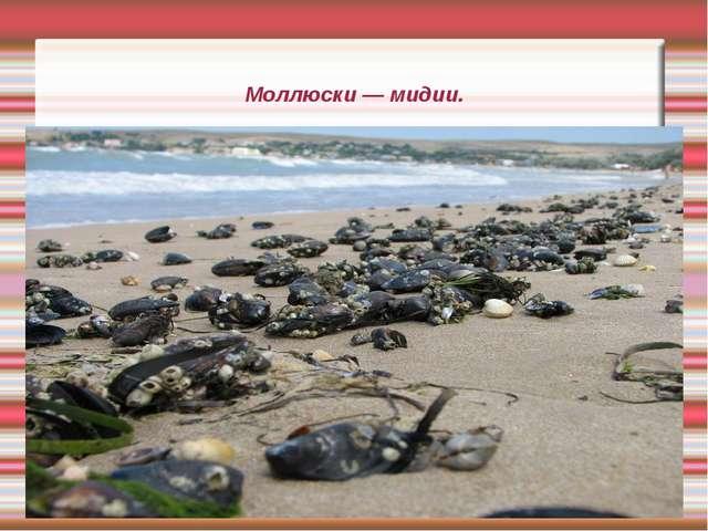 Моллюски — мидии.