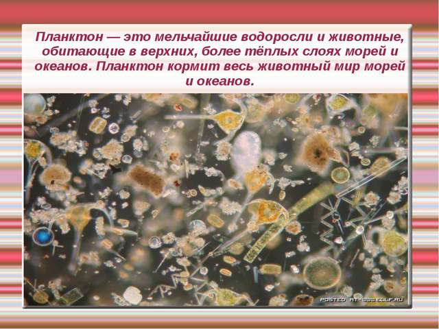 Планктон — это мельчайшие водоросли и животные, обитающие в верхних, более тё...