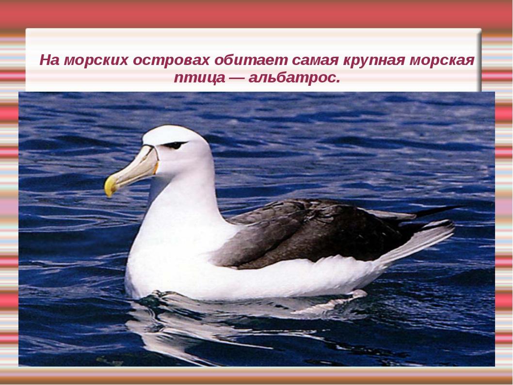 На морских островах обитает самая крупная морская птица — альбатрос.