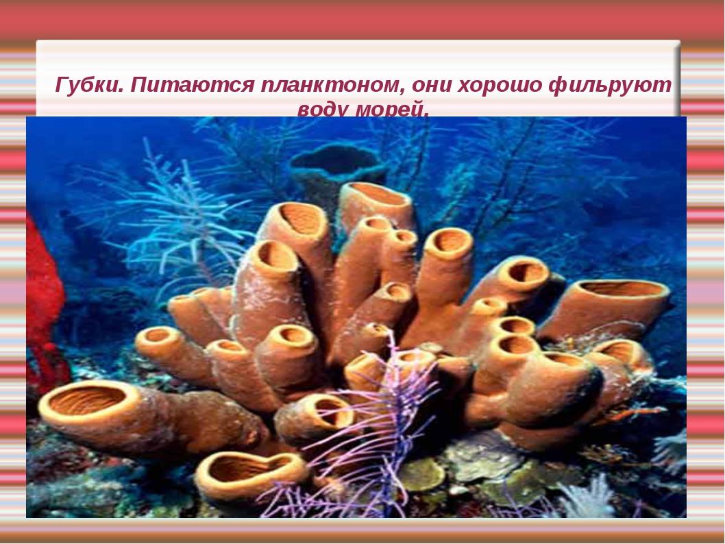 Губки. Питаются планктоном, они хорошо фильруют воду морей.