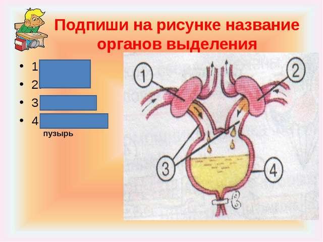 Подпиши на рисунке название органов выделения 1. 2. 3. 4. Почки Мочеточники М...