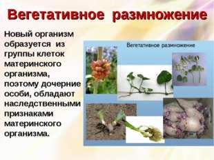 Вегетативное размножение Новый организм образуется из группы клеток материнс