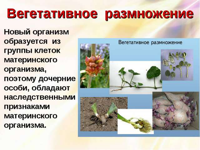 Вегетативное размножение Новый организм образуется из группы клеток материнс...