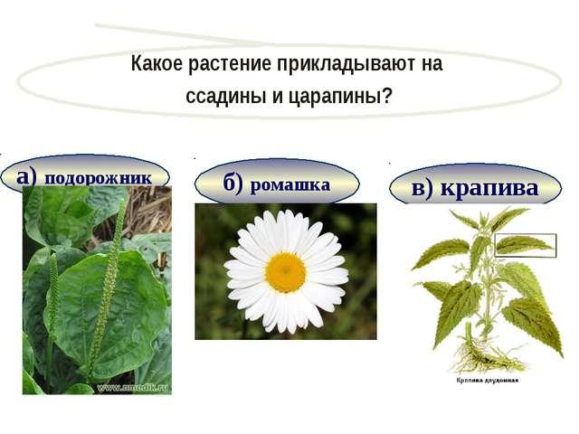в) крапива Какое растение прикладывают на ссадины и царапины? Продолжить игру