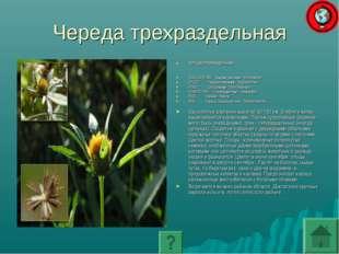Череда трехраздельная ЧЕРЕДА ТРЕХРАЗДЕЛЬНАЯ ПОДЦАРСТВО: Высшие растения - Emb