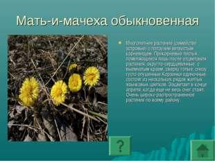 Мать-и-мачеха обыкновенная Многолетнее растение (семейство астровые) с ползуч