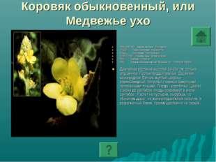 Коровяк обыкновенный, или Медвежье ухо ПОДЦАРСТВО: Высшие растения - Embryoph