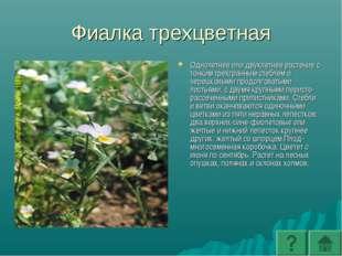 Фиалка трехцветная Однолетнее или двухлетнее растение с тонким трехгранным ст