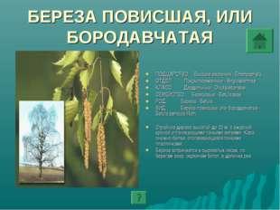 БЕРЕЗА ПОВИСШАЯ, ИЛИ БОРОДАВЧАТАЯ ПОДЦАРСТВО: Высшие растения - Embryophyta О