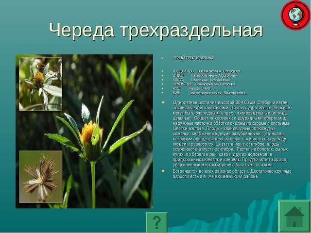 Череда трехраздельная ЧЕРЕДА ТРЕХРАЗДЕЛЬНАЯ ПОДЦАРСТВО: Высшие растения - Emb...