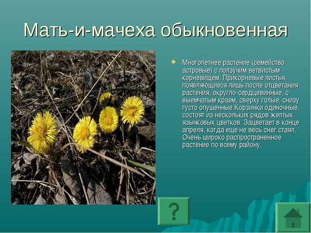 Мать-и-мачеха обыкновенная Многолетнее растение (семейство астровые) с ползуч...