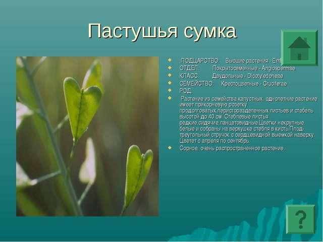 Пастушья сумка :ПОДЦАРСТВО: Высшие растения - Embryophyta ОТДЕЛ: Покрытосемен...