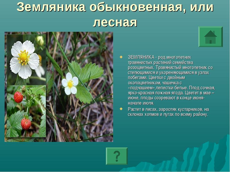 Земляника обыкновенная, или лесная ЗЕМЛЯНИКА - род многолетних травянистых ра...