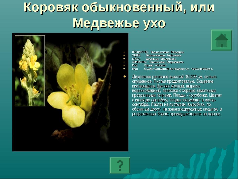 Коровяк обыкновенный, или Медвежье ухо ПОДЦАРСТВО: Высшие растения - Embryoph...
