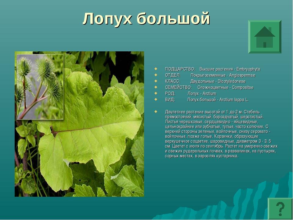 Лопух большой ПОДЦАРСТВО: Высшие растения - Embryophyta ОТДЕЛ: Покрытосеменны...