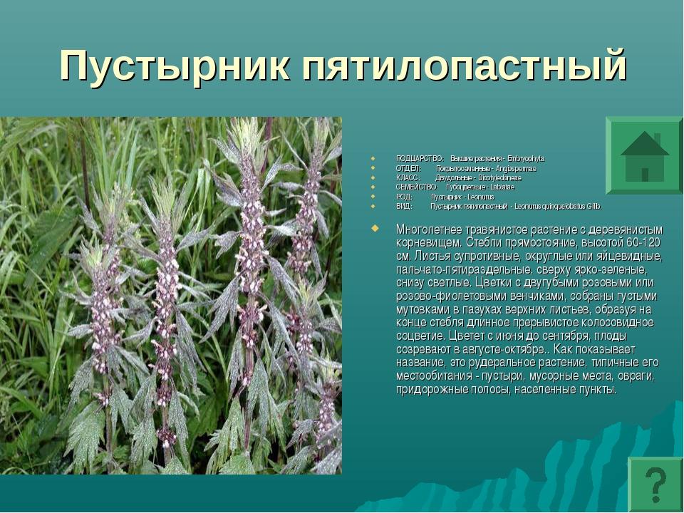 Пустырник пятилопастный ПОДЦАРСТВО: Высшие растения - Embryophyta ОТДЕЛ: Покр...