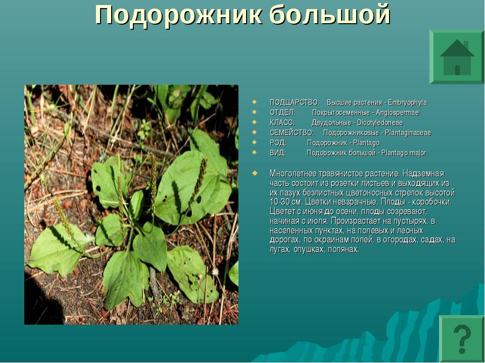 Подорожник большой ПОДЦАРСТВО: Высшие растения - Embryophyta ОТДЕЛ: Покрытосе...