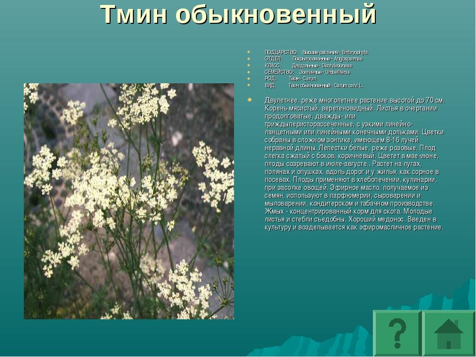Тмин обыкновенный ПОДЦАРСТВО: Высшие растения - Embryophyta ОТДЕЛ: Покрытосем...