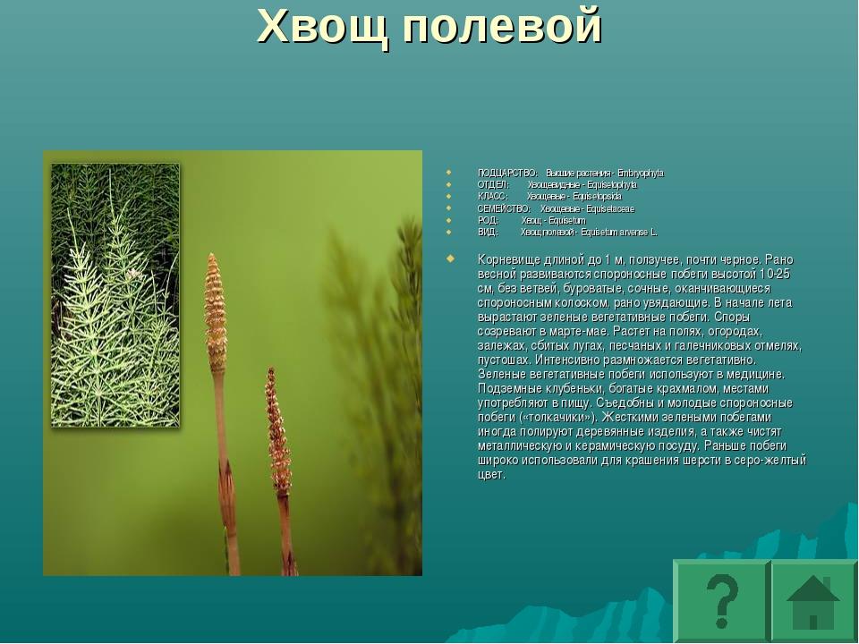 Хвощ полевой ПОДЦАРСТВО: Высшие растения - Embryophyta ОТДЕЛ: Хвощевидные - E...