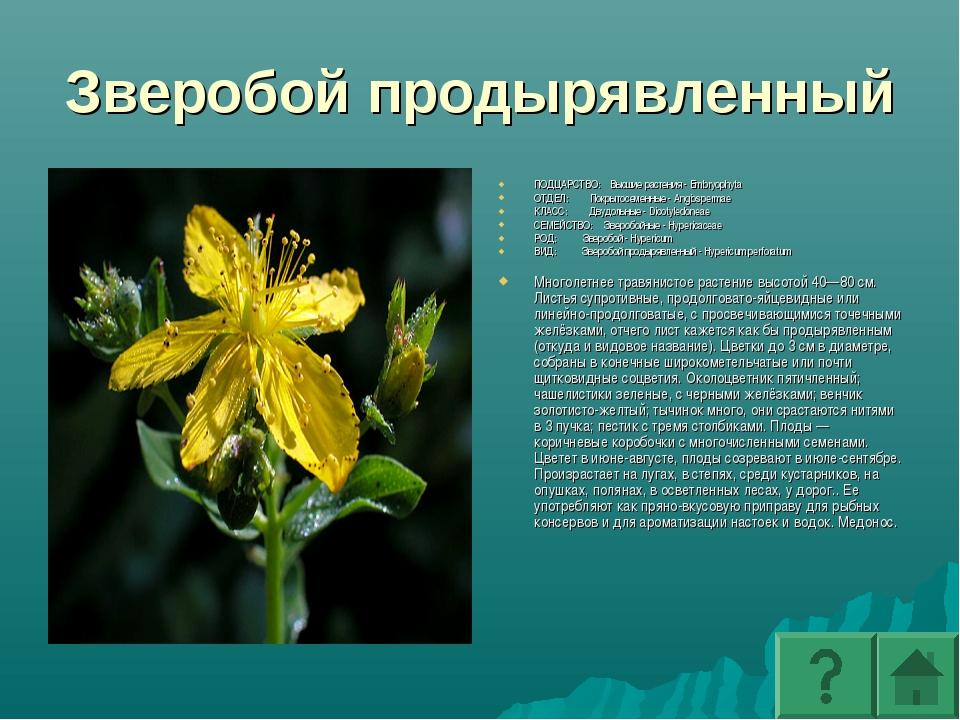 Зверобой продырявленный ПОДЦАРСТВО: Высшие растения - Embryophyta ОТДЕЛ: Покр...