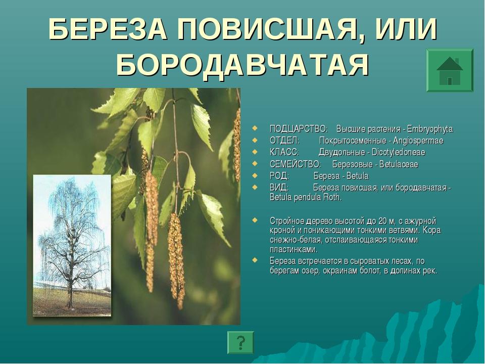 БЕРЕЗА ПОВИСШАЯ, ИЛИ БОРОДАВЧАТАЯ ПОДЦАРСТВО: Высшие растения - Embryophyta О...