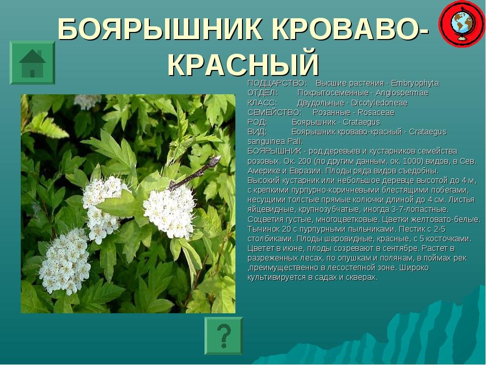 БОЯРЫШНИК КРОВАВО-КРАСНЫЙ ПОДЦАРСТВО: Высшие растения - Embryophyta ОТДЕЛ: По...
