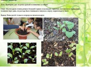 Наши опыты: Цель: Проверить даст ли репка урожай в комнатных условиях. Опыт: