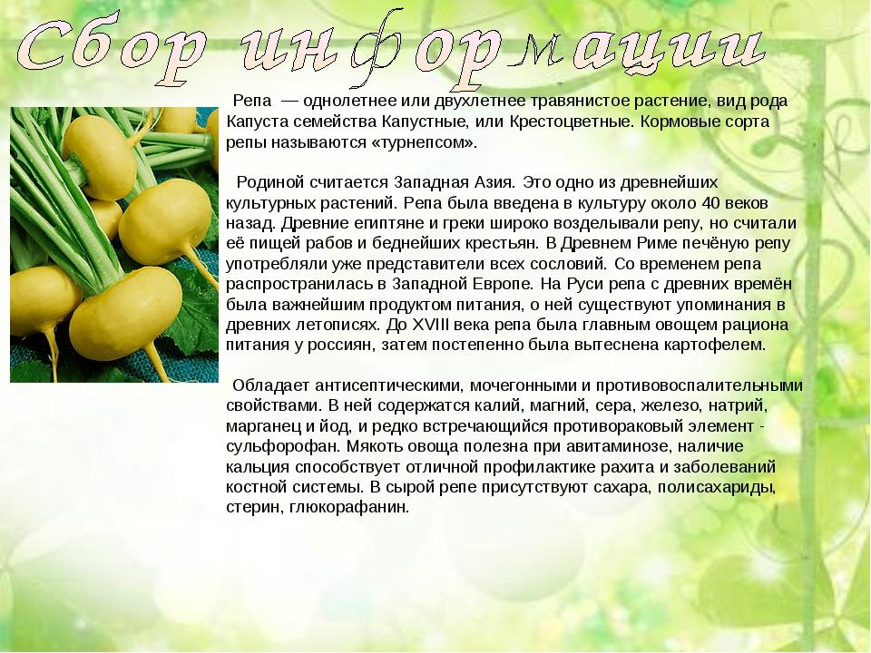 Репа — однолетнее или двухлетнее травянистое растение, вид рода Капуста семе...