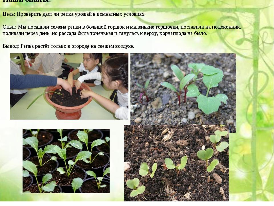 Наши опыты: Цель: Проверить даст ли репка урожай в комнатных условиях. Опыт:...