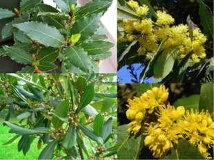 Лавровый лист – общее название для листьев лавра благородного – вечнозеленого