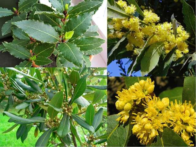 Лавровый лист – общее название для листьев лавра благородного – вечнозеленого...