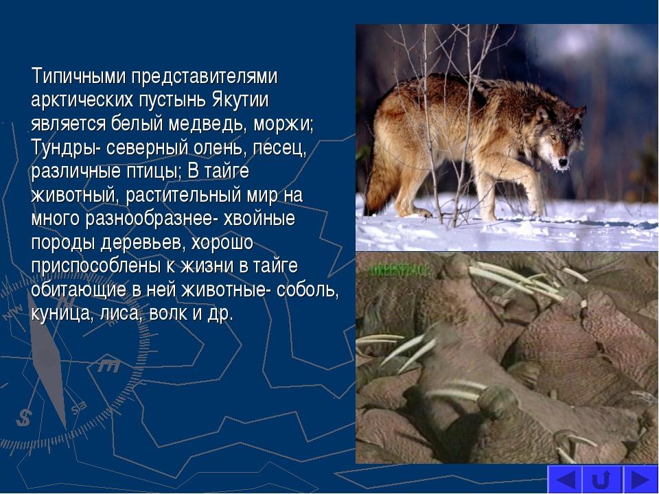Типичными представителями арктических пустынь Якутии является белый медведь,...