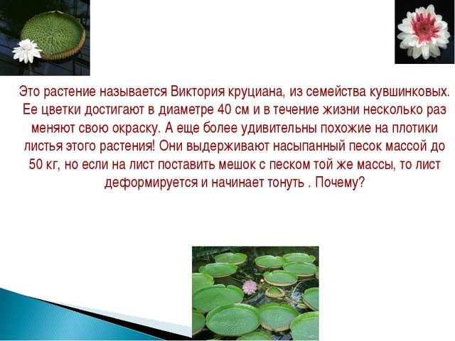 Это растение называется Виктория круциана, из семейства кувшинковых. Ее цветк...