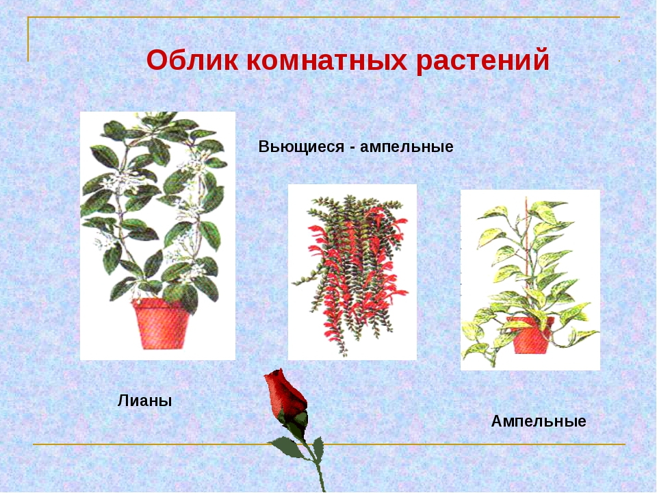 Лианы Вьющиеся - ампельные Ампельные Облик комнатных растений
