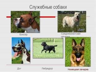 Служебные собаки Боксер Дог Лабрадор Немецкая овчарка Среднеазиатская овчарка