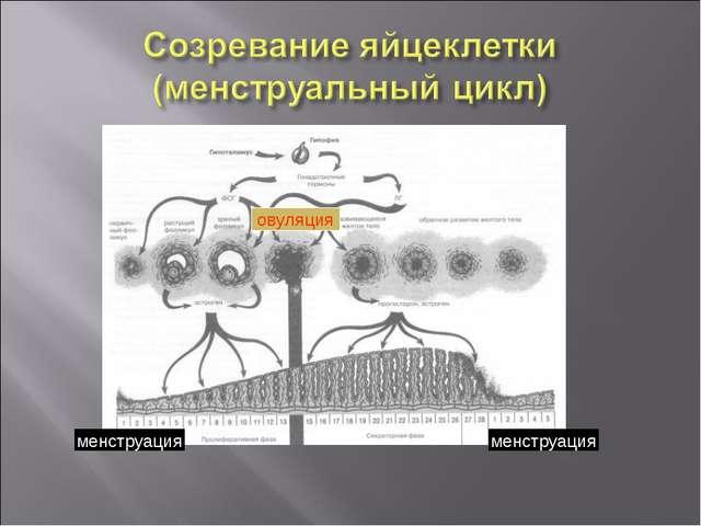 менструация менструация овуляция