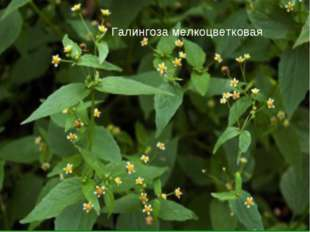 Галингоза мелкоцветковая