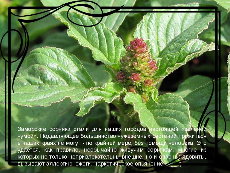 Заморские сорняки стали для наших городов настоящей «зеленой чумой». Подавля...