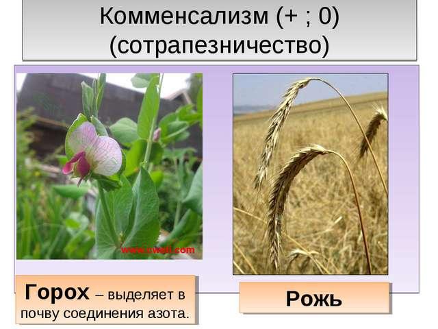 Комменсализм (+ ; 0) (сотрапезничество) Горох – выделяет в почву соединения а...