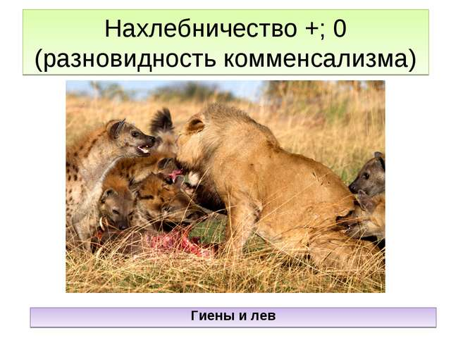 Нахлебничество +; 0 (разновидность комменсализма) Гиены и лев