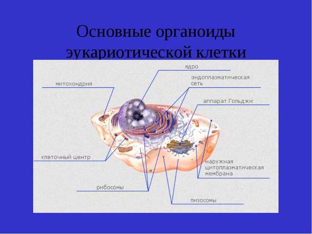 Основные органоиды эукариотической клетки