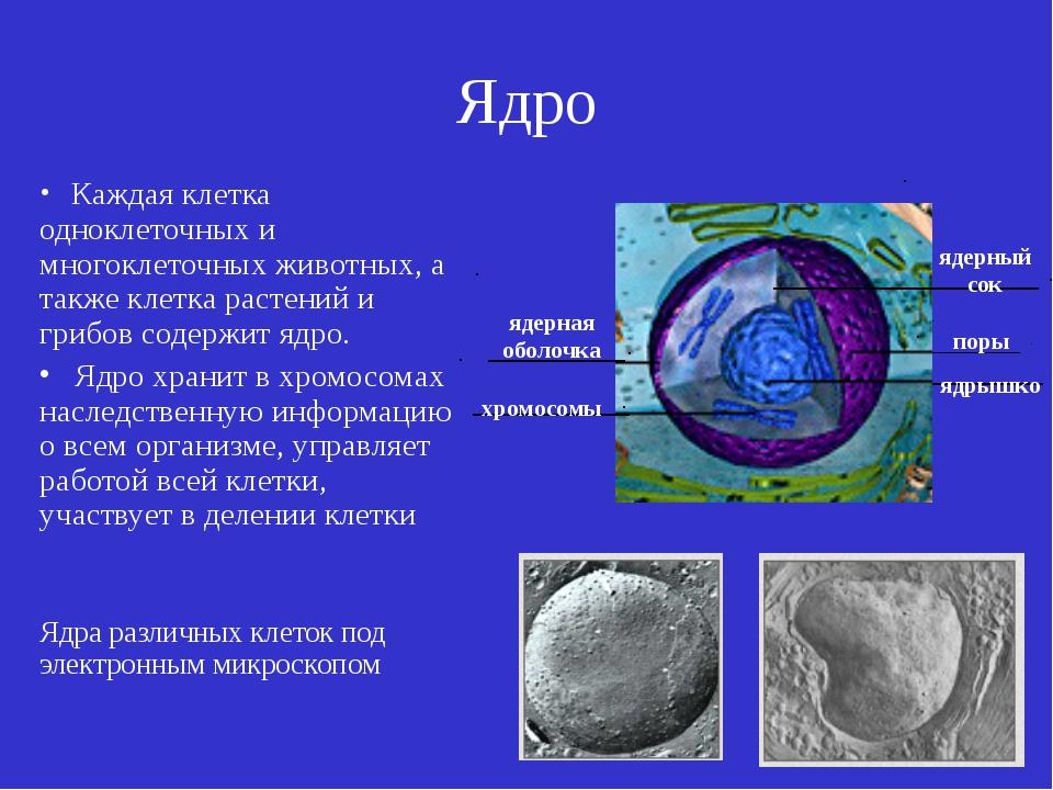 Ядро Каждая клетка одноклеточных и многоклеточных животных, а также клетка ра...