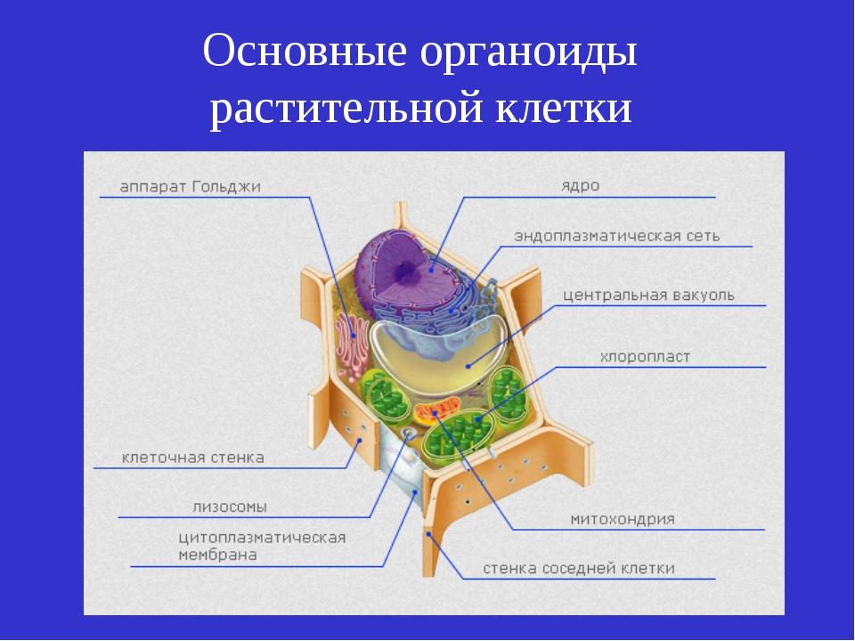 Основные органоиды растительной клетки