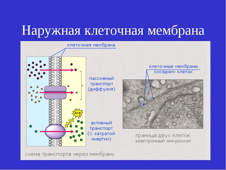 Наружная клеточная мембрана