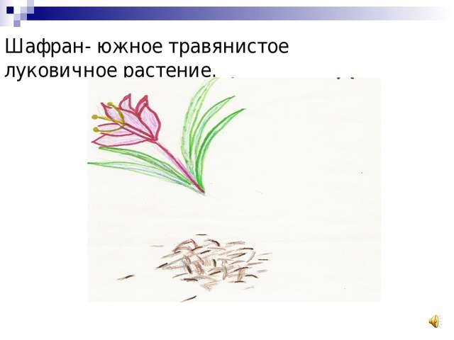 Шафран- южное травянистое луковичное растение.