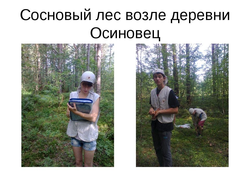 Сосновый лес возле деревни Осиновец